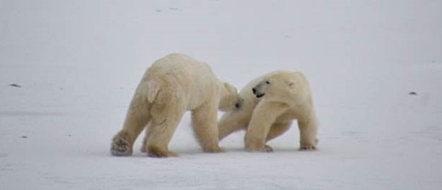 Classic Polar Bear Adventury