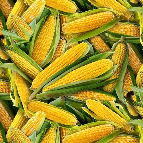 Food Festival - Corn On The Cob - Maize Yellow