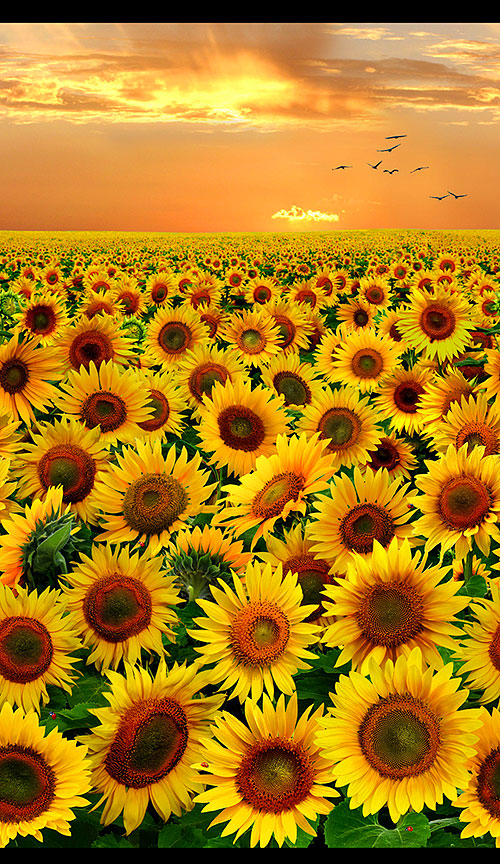 Sunflowers - Sunset Blooms Border - Orange Glow