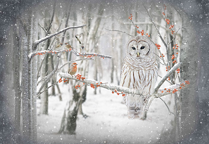 "Call of the Wild - Winter Barred Owl - 30"" x 44"" PANEL - DIGITAL"