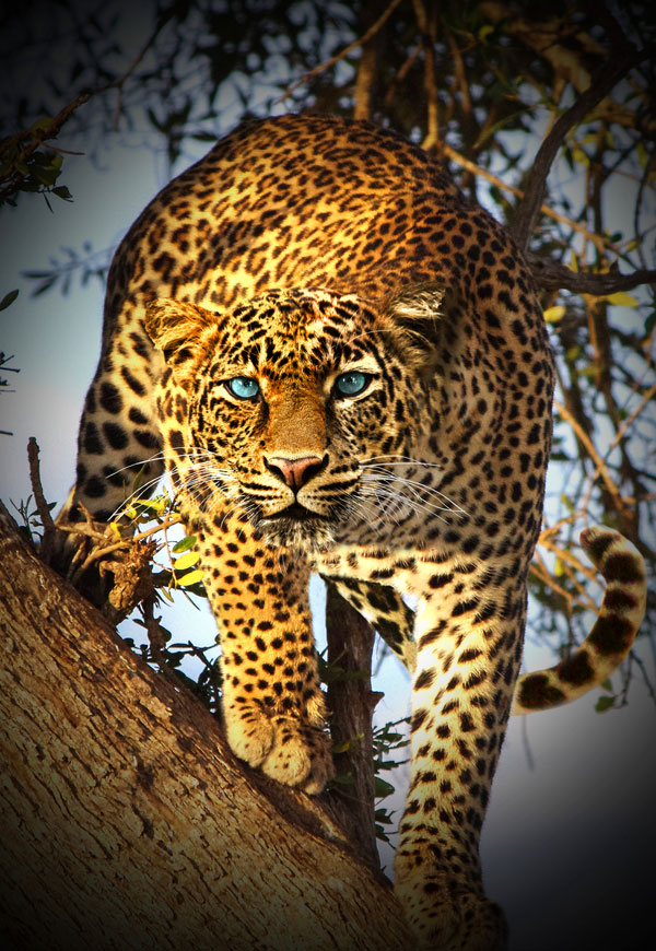 "Call of the Wild - Spotted Leopard - 31"" x 44"" PANEL"