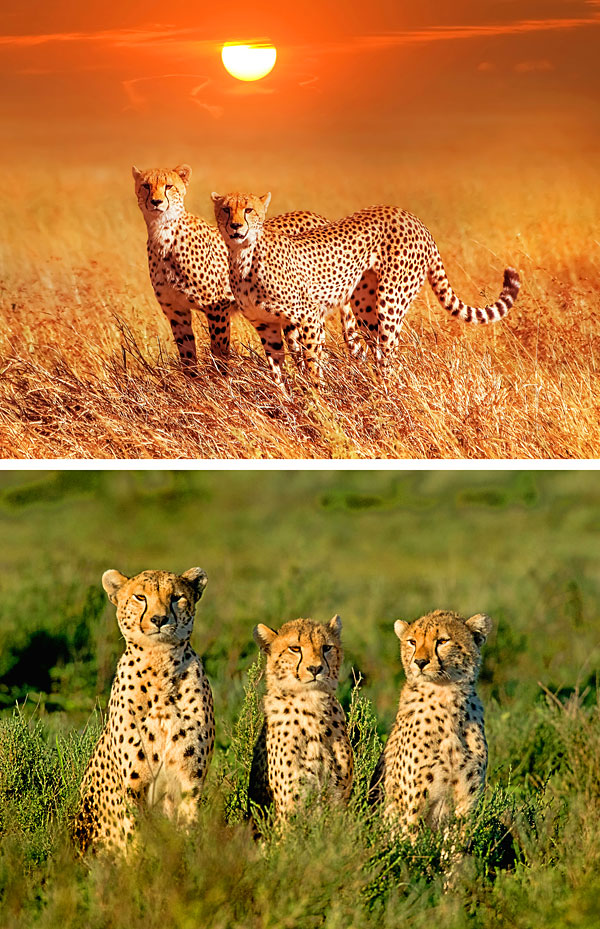 "Cheetahs in the Serengeti - 28"" X 44"" PANEL - DIGITAL PRINT"
