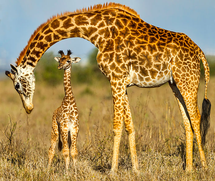 "Giraffe Mother & Calf - 36"" x 44"" PANEL - DIGITAL PRINT"