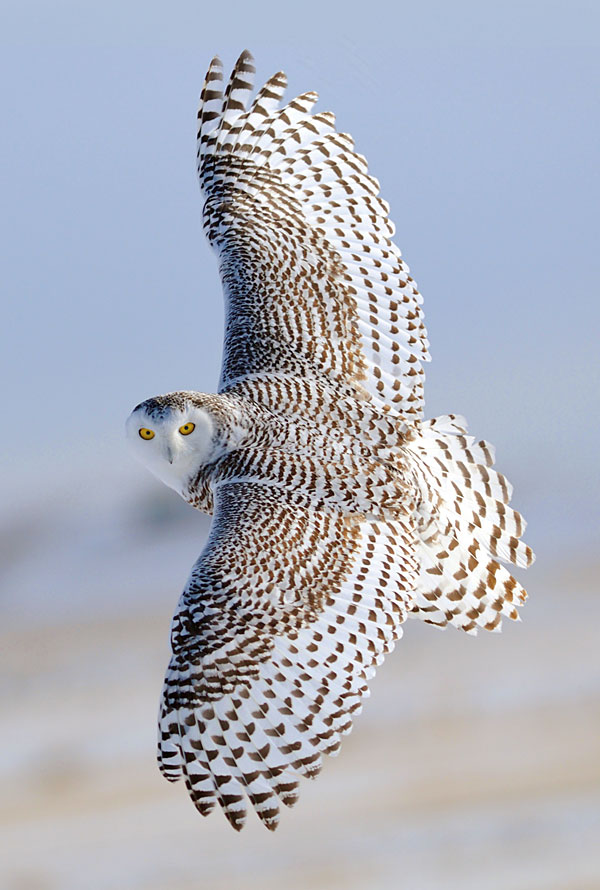 "Snowy Owl in Flight - 29"" x 44"" PANEL - DIGITAL PRINT"