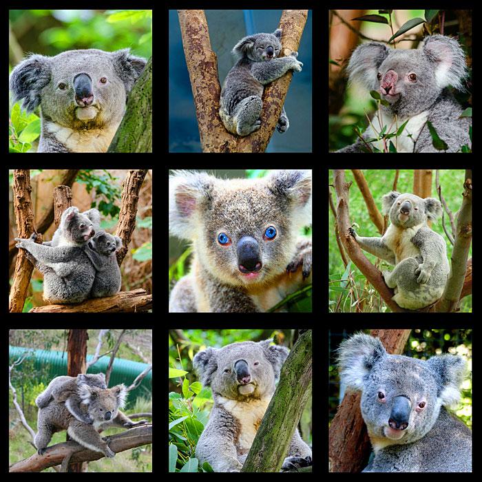 "Koala Sanctuary - 28"" x 44"" PANEL - DIGITAL PRINT"