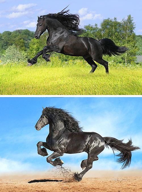 "Friesian Horses - Show Time - 32"" x 44"" PANEL - DIGITAL PRINT"