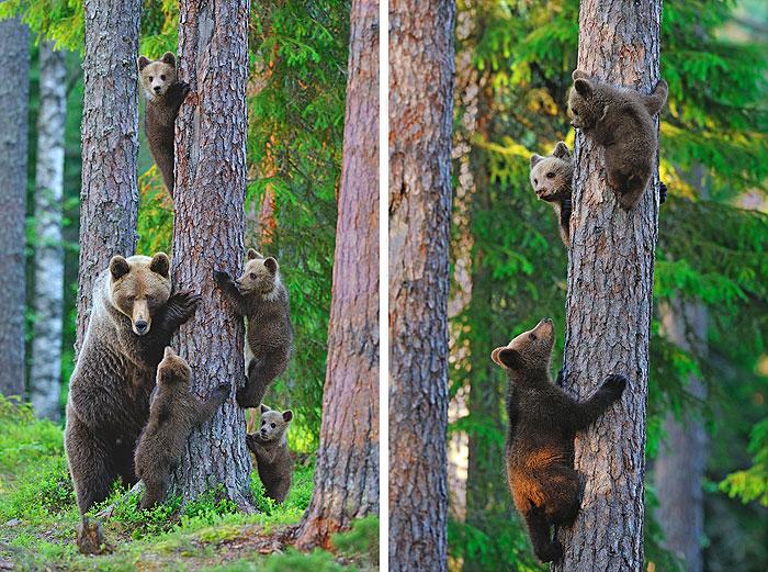 "Family of Bears - Climbers - 33"" x 44"" PANEL - DIGITAL PRINT"