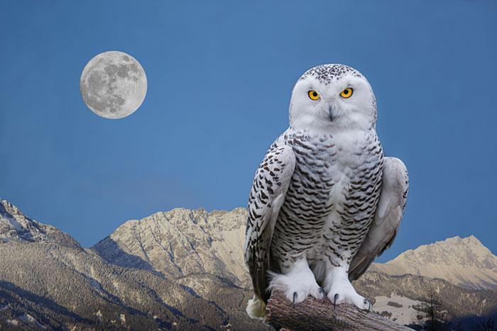 "Snowy Owl and Moon - Sky Blue - 29"" x 44"" PANEL - DIGITAL PRINT"